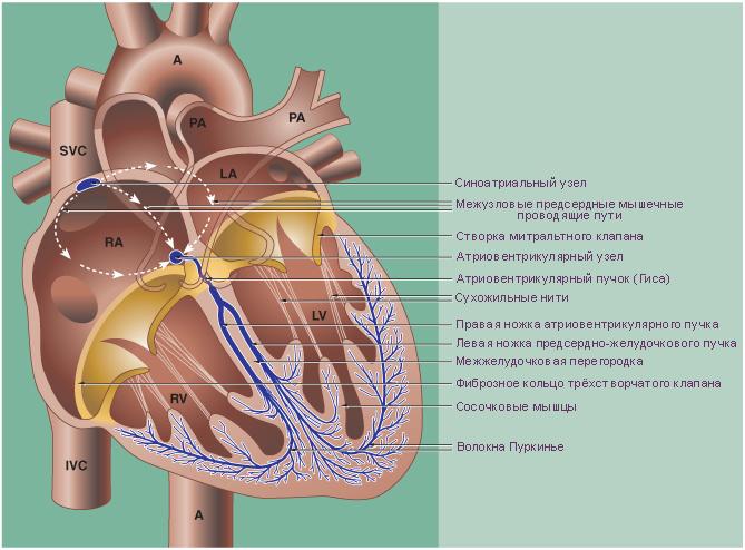 схема устройства проводящей системы сердца